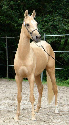 das schönste pferd der welt